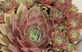 How to Care For Hens & Chicks Succulents