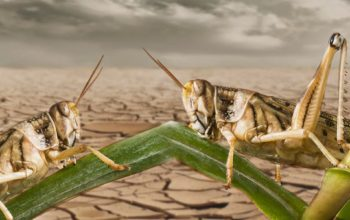 Are Today's Locust Swarms an End-Time Plague?