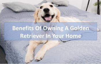 Benefits of Owning a Golden Retriever in Your Home